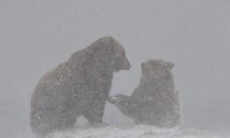 На камчатці ведмеді купаються, радіють снігу і не можуть залягти в сплячку