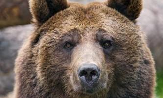 На курилах місцеві жителі переїхали на джипі бурого ведмедя
