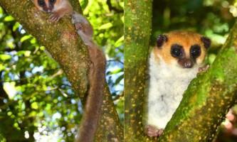 На мадагаскарі виявлено новий вид лемура
