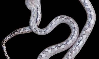 На мадагаскарі відкрили вид «примарних» змій