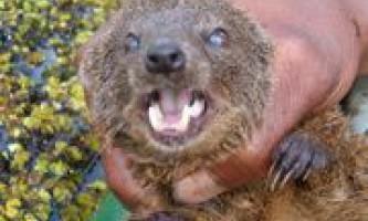 На мадагаскарі відкрили надзвичайно рідкісний хижак