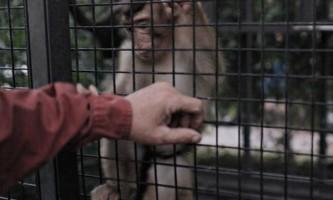 На острові борнео виявили вид мавп яких вважали вимерлими