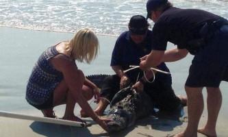 На пляжі в південній кароліні алігатор налякав відпочиваючих