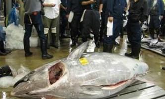 На рибному аукціоні в токіо продали гігантського тунця