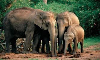 На шрі-ланці блискавка вбила чотирьох слонів