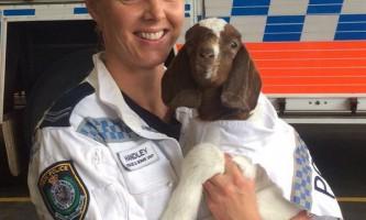 На службу в поліцію австралії надійшов козел
