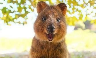 На зміну котиків прийшли квокки: короткохвості кенгуру підкорюють інтернет