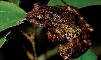 На тайвані відкрили два нових види жаб