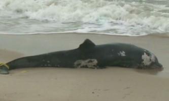 На східному узбережжі сша знайдено 228 загиблих дельфінів