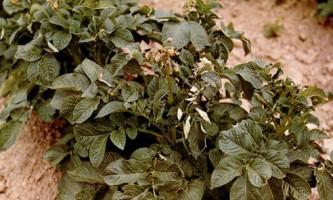 На замітку: хвороби бульб картоплі