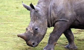 На землі залишилося шість північних білих носорогів