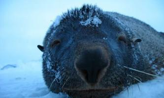 Починається міграція морських котиків в антарктиді