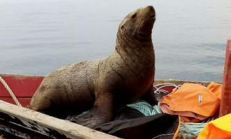 Нахабний морський котик застрибнув у човен до сахалінським рибалкам