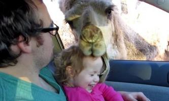 Нахабний верблюд з сафарі-парку спробував `зажувати` дівчинку