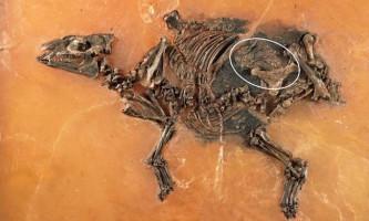 Знайдена вагітна кінь, що жила 47 мільйонів років тому