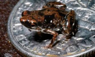 Знайдена сама мініатюрна жаба в світі