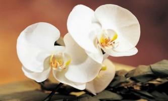 Знайдено пояснення дивовижному різноманітності орхідей