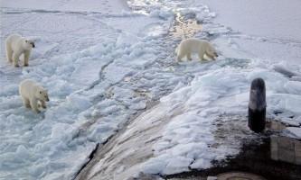 Напади білого ведмедя на людину