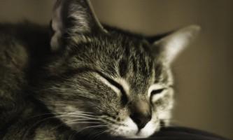 Народні засоби від бліх у кішок