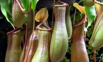 Комахоїдні рослини навчилися отримувати харчування з фекалій землерийок