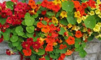 Настурція - джерело вітамінів і прикраса саду