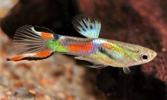 Назви самих маленьких акваріумних рибок