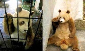 Не всі панди чорно-білі