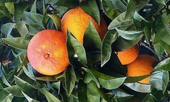 Не всякий червоний апельсин червоний