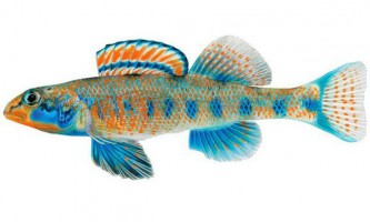 Нещодавно відкритий вид рибок названий на честь барака обами