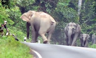 Незадоволені шумом слони змусили мотоцикліста рятуватися втечею