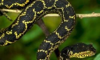 Невідома раніше кольорова рогата змія знайдена в танзанії