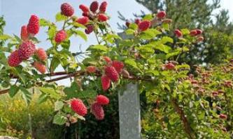 Деякі особливості вирощування малинового дерева