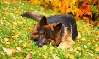 Німецька вівчарка - класика службової породи