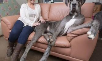 Німецький дог на прізвисько фредди - cамая висока собака великобритании