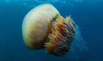 Немопілема номура - велична медуза