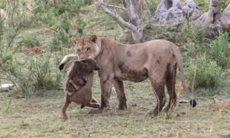 Незвичайна історія про людяність звірів
