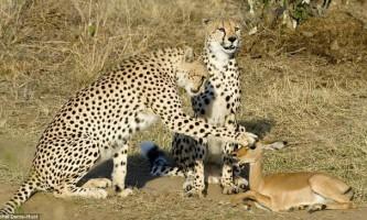 Незвичайна історія трьох гепардів і молодий антилопи