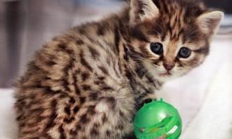 У домашньої кішки народилося кошеня рідкісного виду