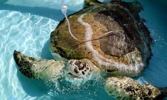 Потрапила під гвинт катера велику морську черепаху врятували ветеринари
