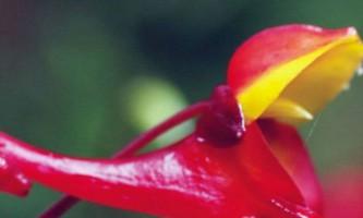 Незвичайний квітка крутиться заради запилення птахом