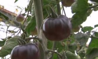 Незвичайний сорт помідор `` чорна галактика `` покажуть на виставці-ярмарку