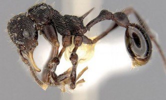 Незвичайний вид мурах виявлений в шлунку жаби