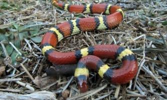 Безпечні змії маскуються під вимерлих отруйних побратимів