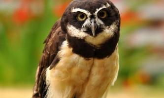 Неотропическая очкова сова - мудра птиця «в окулярах»