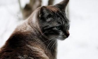 Непрохідність кишечника у кішок: симптоми і лікування