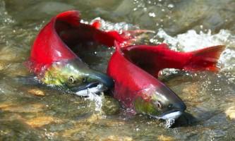 Нерка, або червона риба