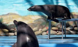 Нерпа розумнішими дельфіна - чи правда це?