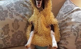 Нервову козу лікують від стресу, переодягаючись у костюми тварин