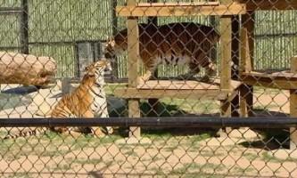 Нетверезу американку в зоопарку покусав тигр