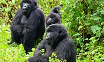 Нелагідність горилу по кличці патрик виселяють із зоопарку